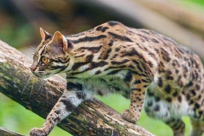 Leopard Cat 2