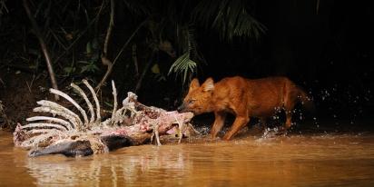 Wild dog at Khao Yai National Park
