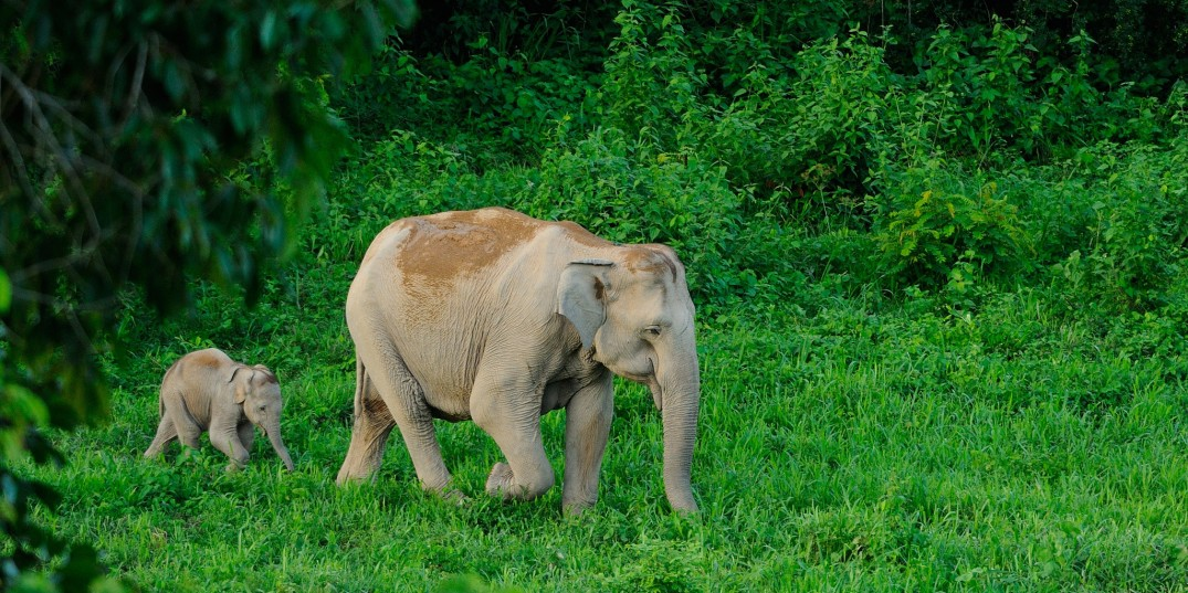 Asian Elephant, Elephas maximus, mother and calf in Kui Buri national park. Flickr, Tontan Travel