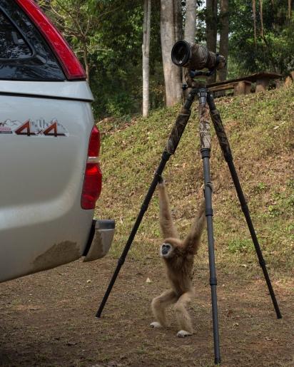 Gibbon in Kaeng Krachan National Park. Flickr, Jason Thompson